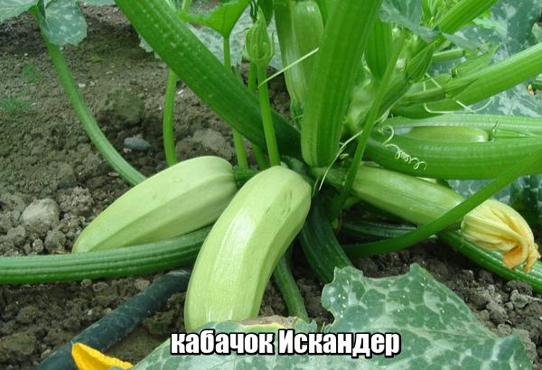 О сорте кабачка Искандер: описание растения, выращивание и уход за культурой
