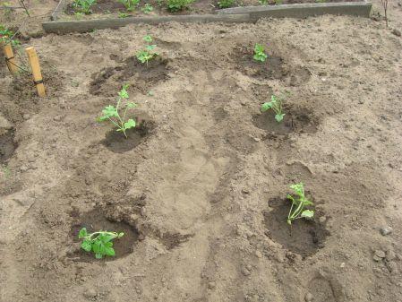 Как высаживать рассаду арбузов в открытый грунт: инструкции по посадке