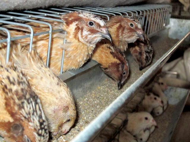 Не несутся перепелки: почему несушки перестали нести яйца в домашних условиях
