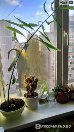 Как растет и цветет имбирь, как посадить из проросшего корня, советы