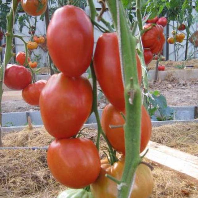 О томате Гусиное яйцо: описание сорта, характеристики помидоров, посев