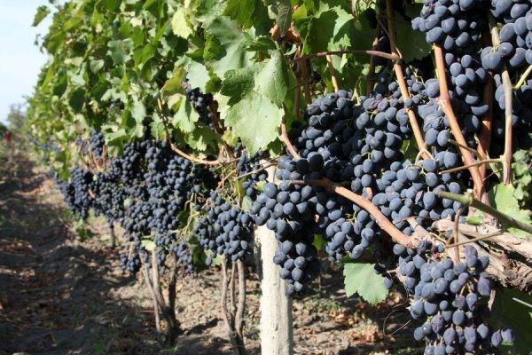 Описание сорта винограда Молдова, характеристики сорта, преимущества и недостатки