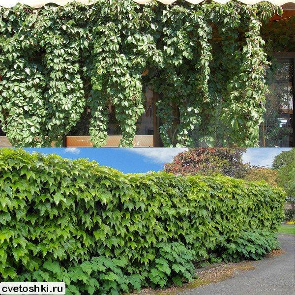 Про пятилисточковый дикий виноград и декоративный триостренный виноград Вичи