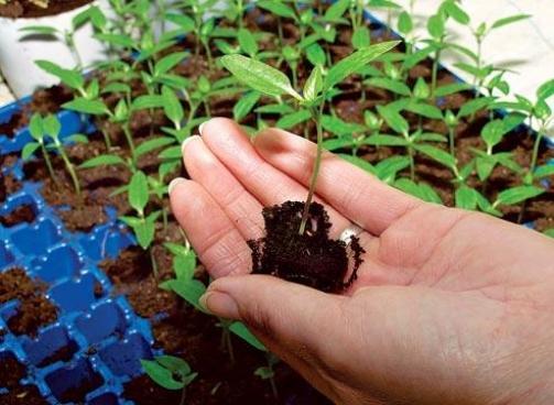 Голубика из семян: посадка и выращивание в домашних условиях