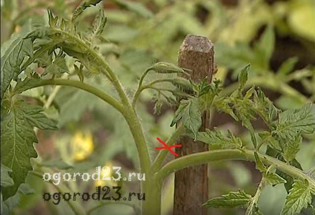 Когда обрывать листья у томатов в теплице, как обламывать нижний лист у помидор