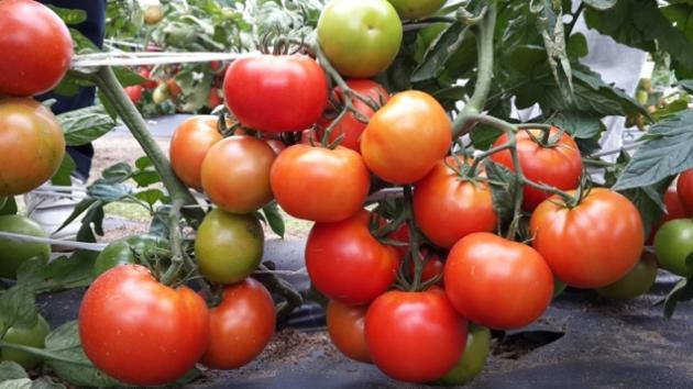 Король рынка: описание сорта томата, характеристики, агротехника