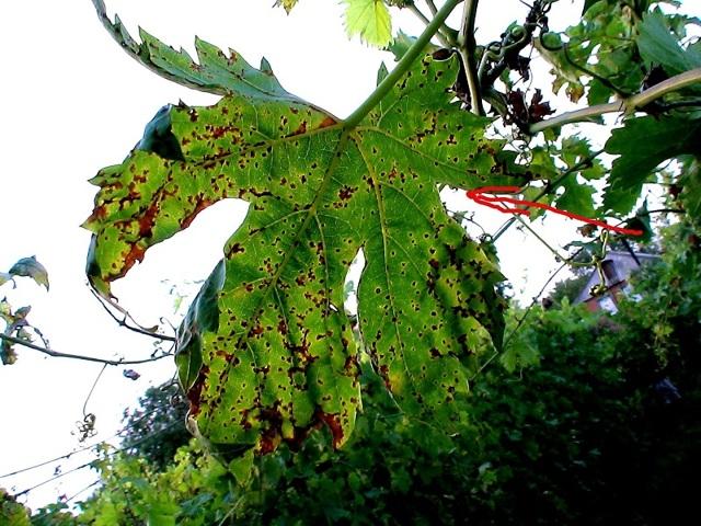 О винограде Галбена Ноу: описание и характеристики сорта, посадка и уход