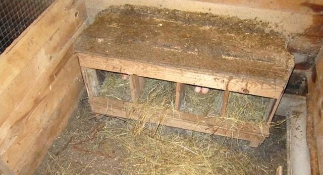 О бройлерных индюках: уход и кормление, выращивание в домашних условиях