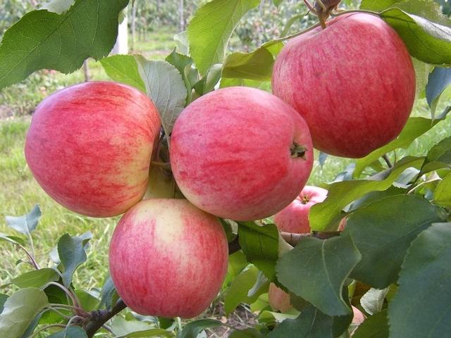 О яблоне Память Тихомирова: описание и характеристики сорта, уход и выращивание