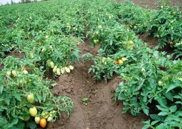 Боец (буян): описание сорта томата, характеристики помидоров, посев