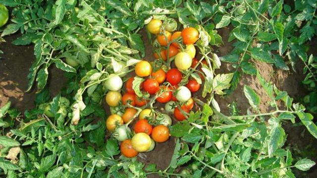 О томате Москвич: описание и характеристики сорта, уход и выращивание
