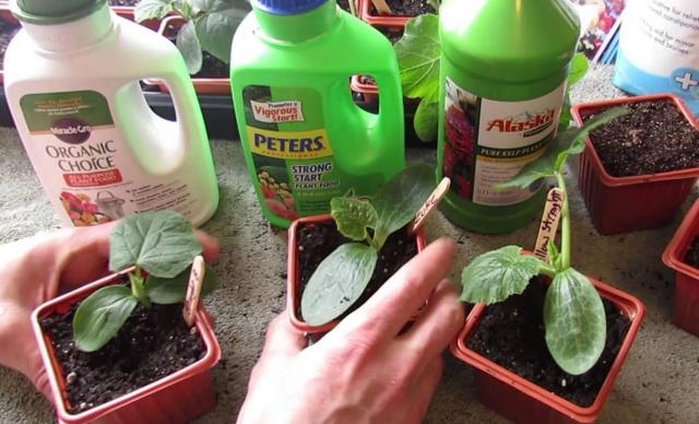 Что делать, если огурцы остановились в росте: причины, чем подкормить