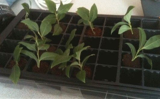 Черника из семян в домашних условиях: посадка и выращивание ягоды
