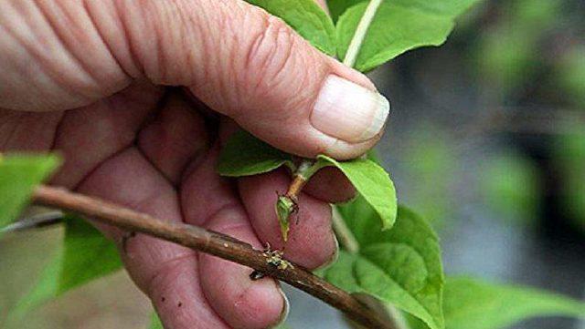 Как размножить жимолость черенками весной: разведение и пересадка