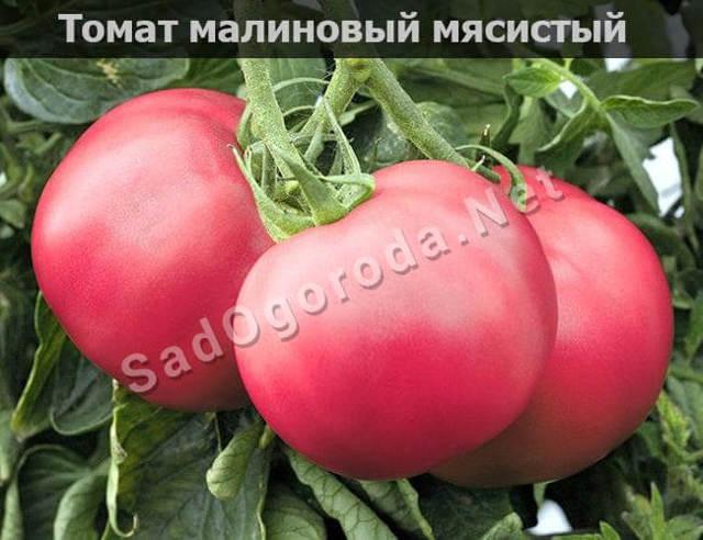 Малиновый: описание сорта томата, характеристики помидоров, посев