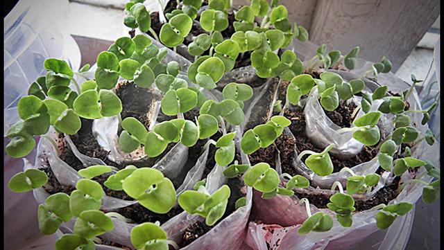 О проращивании семян огурцов на туалетной бумаге: советы бывалых огородников