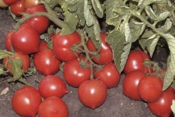 Моя любовь: описание сорта томата, характеристики помидоров, выращивание
