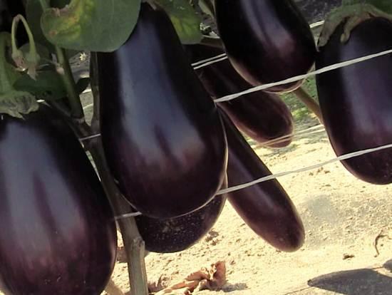 О посадке баклажанов: какие культуры являются хорошими предшественниками