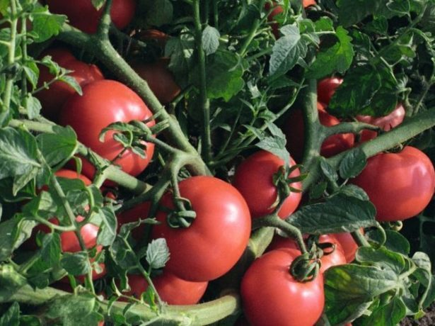 Султан: описание сорта томата, характеристики помидоров, посев
