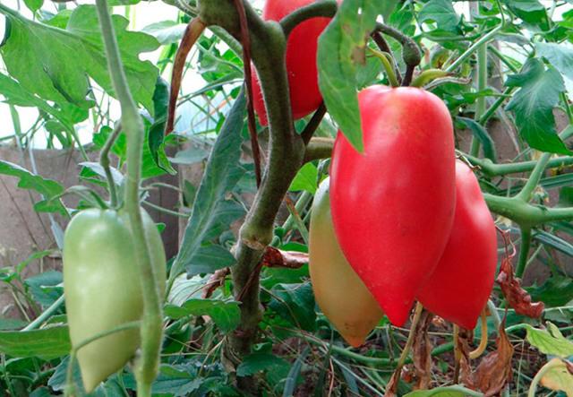 О томате Кенигсберг: описание и характеристики сорта, уход и выращивание