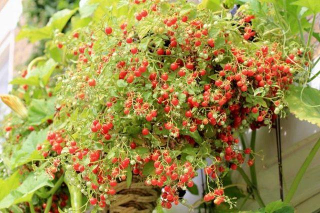 Можно ли поливать рассаду помидоров марганцовкой, как подкармливать, опрыскивавать