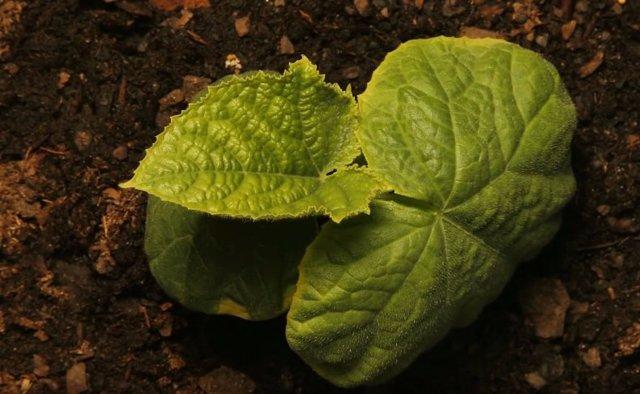 О проращивании семян огурцов: на сколько замочить, когда начинают проклевываться