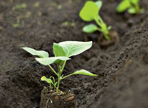 Посадка баклажанов в открытый грунт рассадой: как правильно сажать, на каком расстоянии