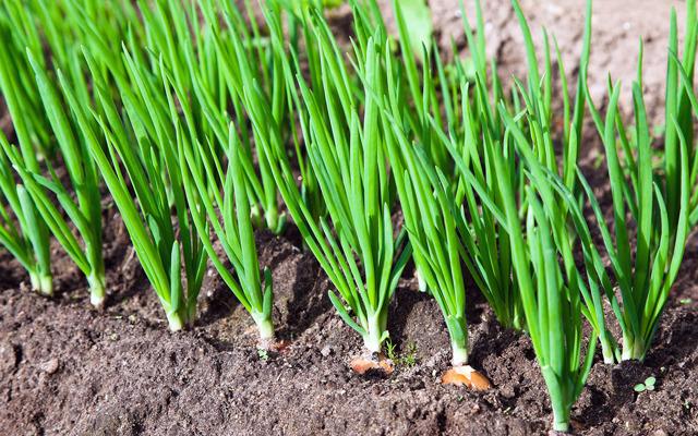 Что нужно знать о предшественниках лука при посеве: после чего можно сажать