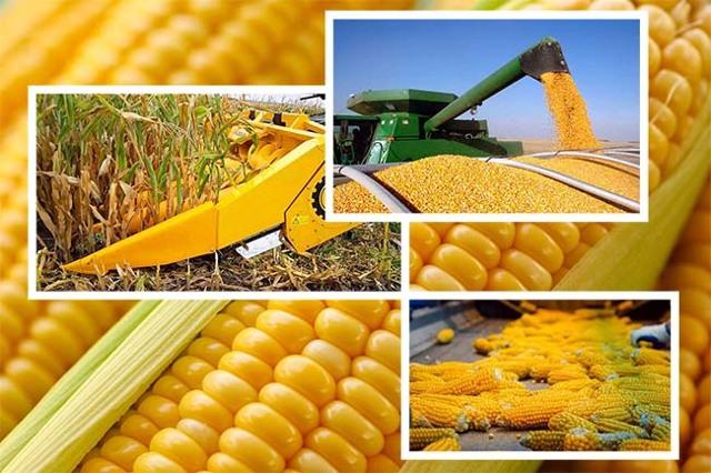 Когда и как высаживать кукурузу: схема посадки, через сколько дней всходит