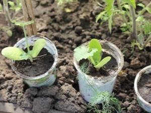 Какие отличия (в чем разница) рассады кабачков от тыквы, огурцов, дыни