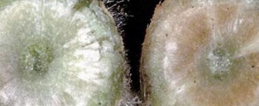 Почему вянет рассада помидор, как спасти рассаду от увядания, почему она гибнет