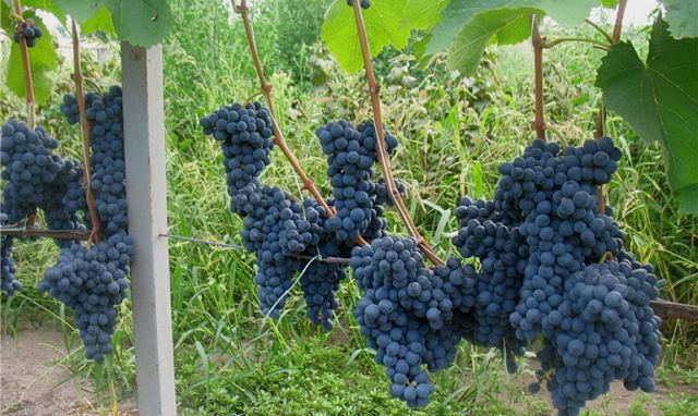 Описание сортов винограда Саперави и Саперави Северный, отличия, преимущества, недостатки