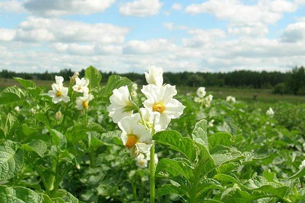 О картофеле Луговской: описание сорта, характеристики, агротехника