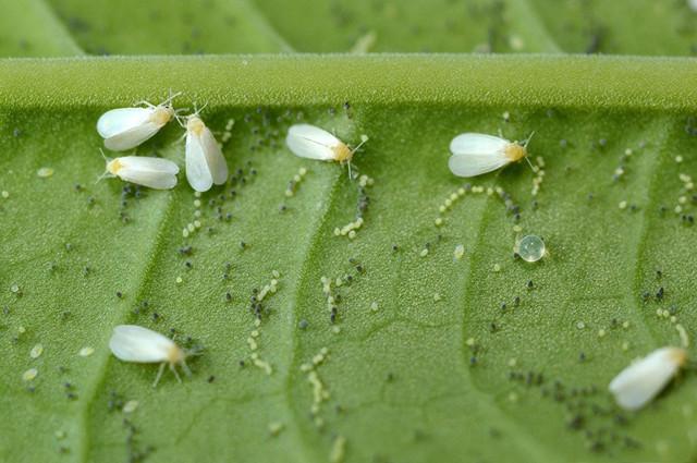Закручиваются листья у рассады огурцов: почему (описание причин) и что делать