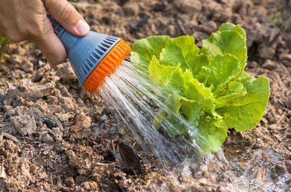 Все о выращивании салата Айсберг: посев и уход за растением