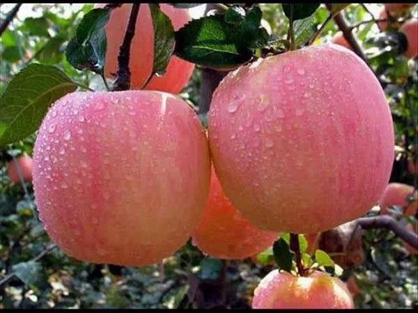 О яблоне Розовый Налив: описание сорта, характеристики, агротехника, выращивание