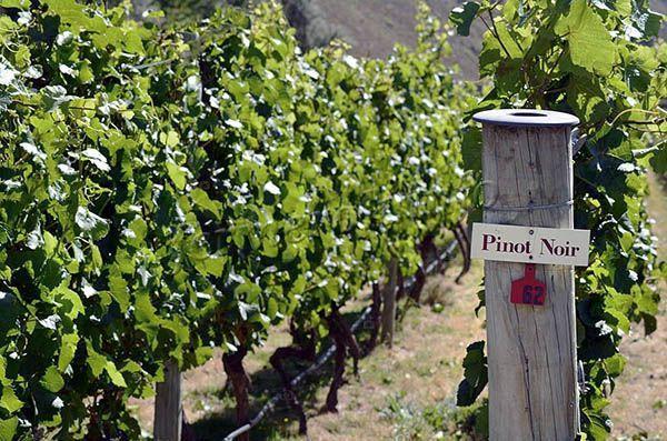 О винограде Пино Нуар: описание и характеристики сорта, посадка и уход