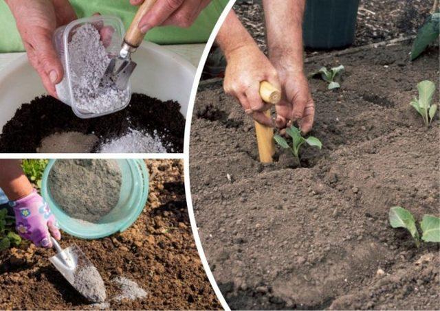 О выращивании брюссельской капусты в открытом грунте: посадка, уход, агротехника