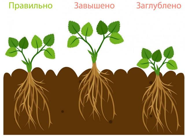 О сорте клубники Московский Деликатес: описание, агротехника выращивания, уход