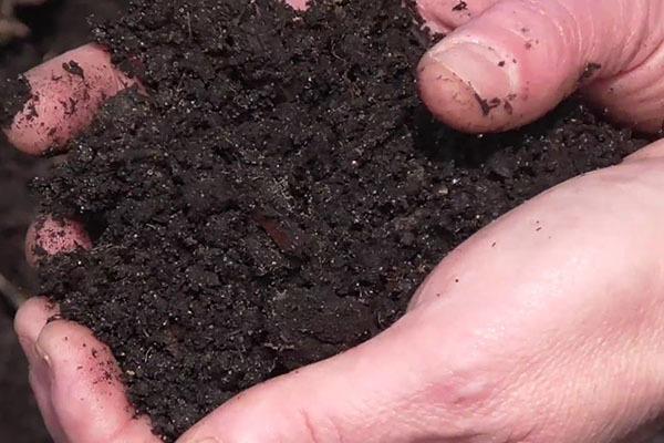 Все об огородном хрене: сорта, как выкапывать, вредители и методы борьбы