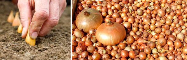 Все о выращивании лука Суворова: правила посева и ухода за растением
