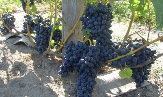 Описание сорта винограда Чарли: особенности, уход и содержание