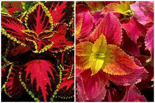 Все о растении, похожем на крапиву: как называется и выглядит
