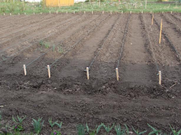 Все о посадке лука севка в Сибири: условия и правила посева весной