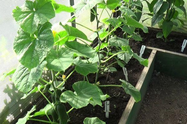 Сроки посадки огурцов в парник в Подмосковье: сеять под пленку, высаживать рассаду