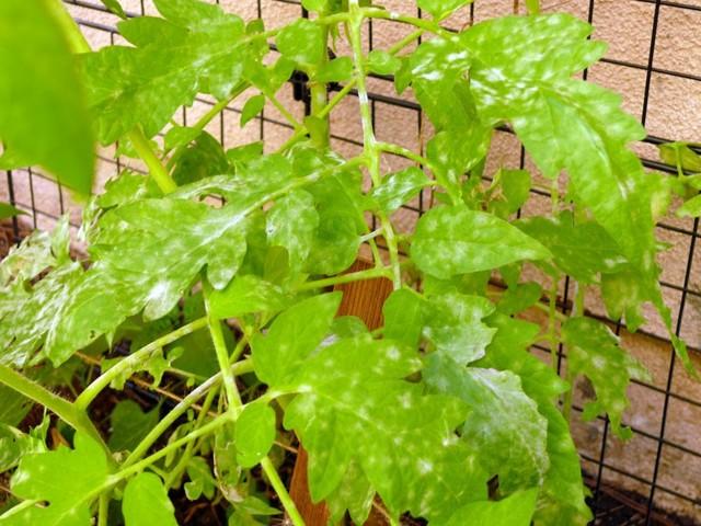 О септориозе томатов: почему листья помидоров белые, что делать, лечение