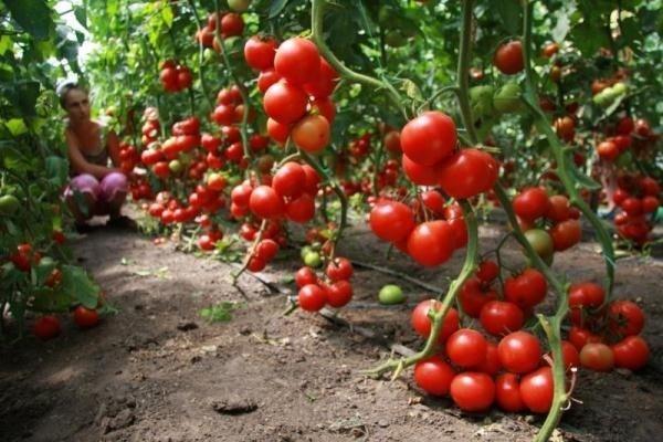 О томате Благовест: описание и характеристики сорта, уход и выращивание