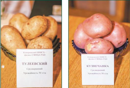 Кемеровчанин: описание сорта картофеля, характеристики, агротехника