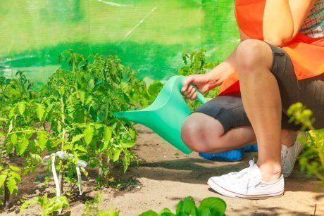 О температуре в теплице для высадки томатов: оптимальные условия для рассады