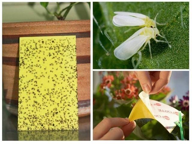 Как избавиться от белых мошек на рассаде томатов: методы борьбы с вредителями